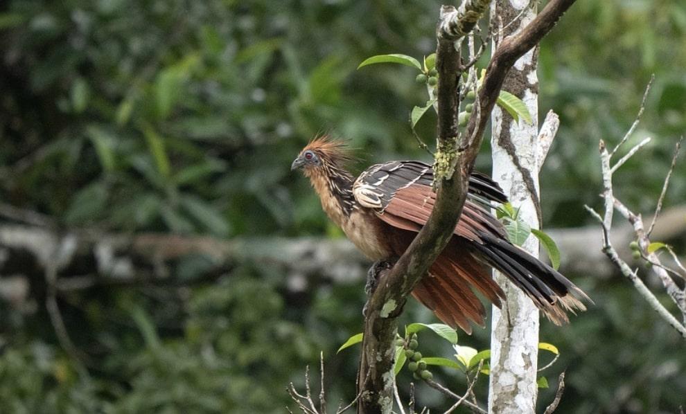 Hoatzin bird native to amazon rainforest